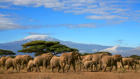African Elephant Herd Kilimanjaro Mountain Tanzania. Herd of african elephants whilst on a safari trip to Kenya and a snow capped Kilimanjaro mountain in Stock Image