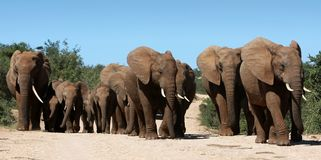 African Elephant Herd. Family herd of African elephants on the move Royalty Free Stock Photography