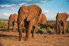 African elephant herd advancing. An African elephant herd making there way through the scrubland of Samburu National Park Royalty Free Stock Photography