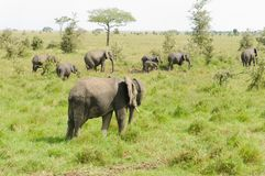 African Elephant  herd. African Elephant herd scientific name: Loxodonta africana, or `Tembo` in Swaheli in the Serengeti National park, Tanzania Stock Photography