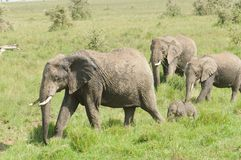 African Elephant  herd. Scientific name: Loxodonta africana, or `Tembo` in Swaheli in the Serengeti National park, Tanzania Stock Images