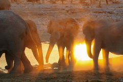 African elephant herd against the light, etosha nationalpark, namibia. Loxodonta africana Royalty Free Stock Photo