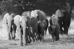African Elephant herd. Black and white Stock Image