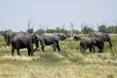 African Elephant Herd Royalty Free Stock Images