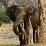 African Elephant Herd. The African Bush elephant is the largest of the two sub-species of African elephant Stock Images