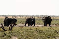 African Elephant Herd. The African Bush elephant is the largest of the two sub-species of African elephant Royalty Free Stock Images