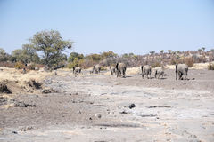 African Elephant Herd Crosses a Dry River Bed in Africa. African Elephant Herd in a Family Group Crosses a Dry River Bed Stock Images