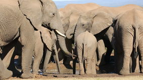 African elephant herd drinking stock video footage