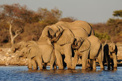 African elephant herd are drinking, etosha nationalpark, namibia. African elephant herd are drinking on a waterhole, etosha nationalpark, namibia, loxodonta Stock Photography