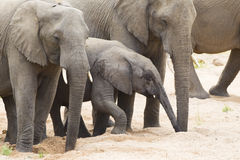 African Elephant herd drinking (Loxodonta africana). Herd of African Elephants (Loxodonta africana) drinking from pools in a dry river bed, Kruger Park, South Royalty Free Stock Image