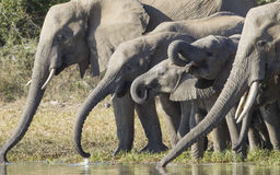 African Elephant herd drinking (Loxodonta africana). A herd of African elephants drinking water from a natural pan in Kruger Park, South Africa Royalty Free Stock Images