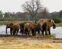 African Elephant Herd Drinking in the Okovango Royalty Free Stock Images