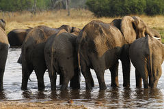 African Elephant Herd Drinking in the Okovango. The African Bush elephant is the largest of the two sub-species of African elephant Royalty Free Stock Images