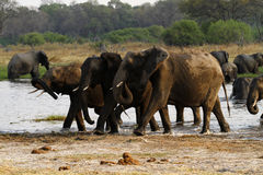 African Elephant Herd Drinking in the Okovango. The African Bush elephant is the largest of the two sub-species of African elephant Royalty Free Stock Photos
