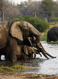 African Elephant Herd Drinking in the Okovango. The African Bush elephant is the largest of the two sub-species of African elephant Stock Image