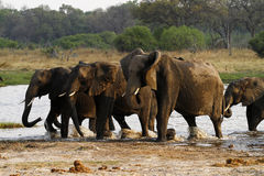 African Elephant Herd Drinking in the Okovango Stock Image