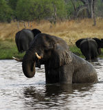 African Elephant Herd Drinking in the Okovango Royalty Free Stock Photo