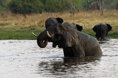 African Elephant Herd Drinking in the Okovango Stock Photo