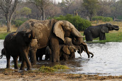 African Elephant Herd Drinking in the Okovango. The African Bush elephant is the largest of the two sub-species of African elephant Royalty Free Stock Photo