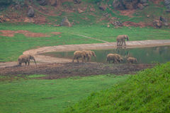 African Elephant herd drinking at water's edge in South Africa.  Royalty Free Stock Image