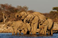 African elephant herd on a waterhole, etosha nationalpark, namibia. African elephant herd drinking on a waterhole, etosha nationalpark, namibia, loxodonta Royalty Free Stock Photo