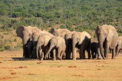 African elephant herd. Herd of African elephants (Loxodonta africana) in natural habitat, Addo Elephant National Park, South Africa Stock Images