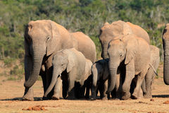 African elephant herd. Herd of African elephants Loxodonta africana in natural habitat, Addo Elephant National Park, South Africa Stock Photography