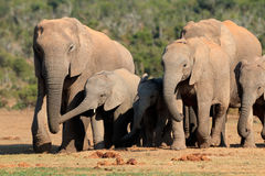 African elephant herd. Herd of African elephants Loxodonta africana in natural habitat, Addo Elephant National Park, South Africa Royalty Free Stock Photography