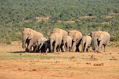 African elephant herd. Herd of African elephants Loxodonta africana in natural habitat, Addo Elephant National Park, South Africa Stock Image