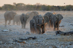 African elephant herd. Etosha nationalpark, namibia Royalty Free Stock Image