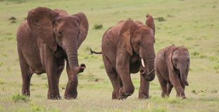 African Elephant Herd. Family of African elephants walking acroos the green grass Royalty Free Stock Photos