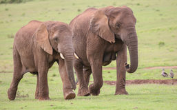 African Elephant Herd. Family of African elephants walking acroos the green grass Stock Photos