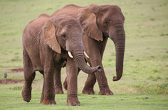 African Elephant Herd. Family of African elephants walking acroos the green grass Stock Image