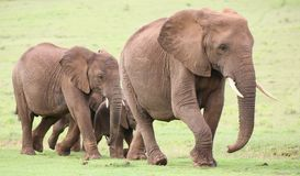 African Elephant Herd. Family of African elephants walking acroos the green grass Royalty Free Stock Image