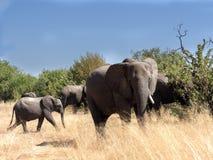 African elephant herd, Loxodonta africana, in bushy bushes, Chobe National Park, Botswana royalty free stock image