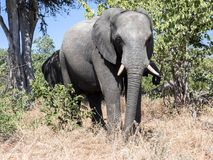 African elephant herd, Loxodonta africana, in bushy bushes, Chobe National Park, Botswana royalty free stock photography