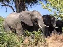 African elephant herd, Loxodonta africana, in bushy bushes, Chobe National Park, Botswana stock photos