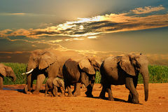 African elephant herd, Loxodonta africana, of different ages walking away from water hole, Addo Elephant National Park, South Afri. Manipulated wildlife picture Stock Photo