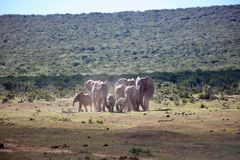 African Elephant Herd Running. A herd of African elephants running through the African bush Stock Photography