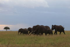 African Elephant herd. Running in savanna Royalty Free Stock Photo