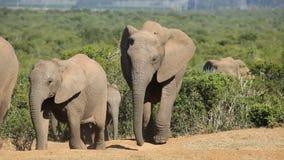 African elephant herd stock video footage