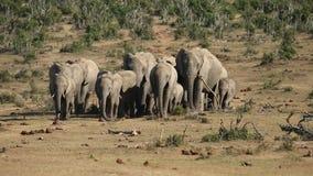 African elephant herd stock video