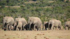 African elephant herd stock video