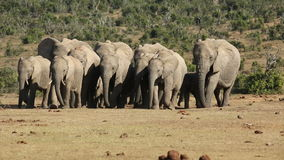 African elephant herd stock footage
