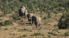 African elephant herd stock video footage