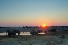 African elephant herd at sunset, etosha nationalpark, namibia. Loxodonta africana Stock Image