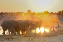 African elephant herd at sunset, etosha nationalpark, namibia. Loxodonta africana Stock Images
