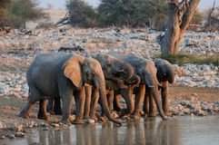 African elephant herd on a waterhole, etosha nationalpark, namibia. African elephant herd on a waterhole and drink,  etosha nationalpark, namibia, loxodonta Stock Photos
