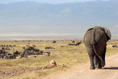 African elephant and herd of wildebeest. Huge african elephant (Loxodonta Africana) walking down a road in Ngorongoro Conservation Area, Tanzania Royalty Free Stock Images