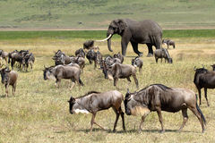 African elephant and herd of wildebeest. Huge african elephant (Loxodonta Africana) walking in the middle of a herd of blue wilebeest (Connochaetes taurinus) in Royalty Free Stock Image